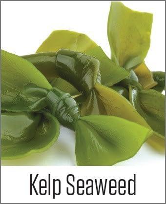 Kelp Seeweed